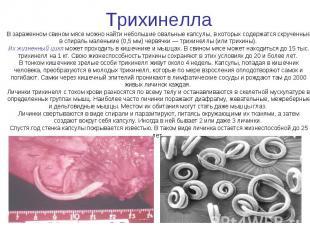 Трихинелла В зараженном свином мясе можно найти небольшие овальные капсулы, в ко