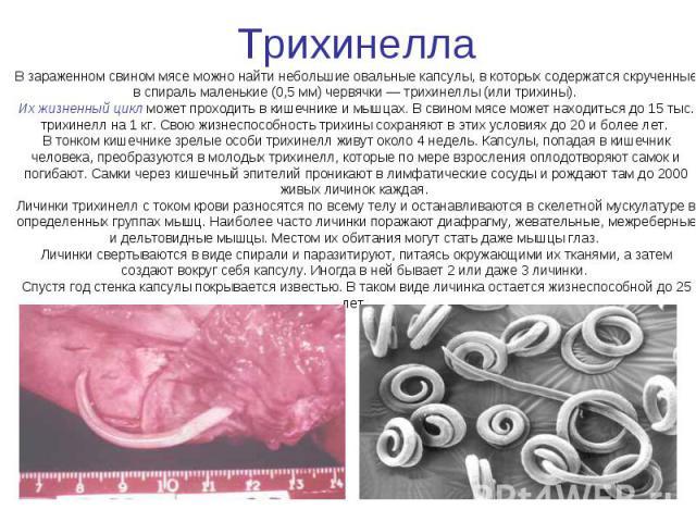 Трихинелла В зараженном свином мясе можно найти небольшие овальные капсулы, в которых содержатся скрученные в спираль маленькие (0,5 мм) червячки — трихинеллы (или трихины). Их жизненный цикл может проходить в кишечнике и мышцах. В свином мясе может…