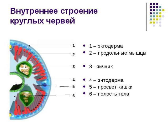 Внутреннее строение круглых червей 1 – эктодерма 2 – продольные мышцы 3 –яичник 4 – энтодерма 5 – просвет кишки 6 – полость тела