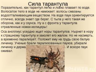 Поразительно, как тарантул легко и ловко плавает по воде. Волосатое тело в воде