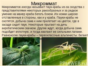 Микромматов иногда называют паук-крабы из-за сходства с представителями некоторы