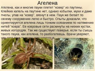 """Агелена, как и многие пауки плетет """"ковер"""" из паутины. Клейких капель на паутине"""