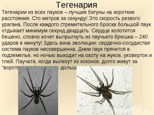 Тегенарии из всех пауков – лучшие бегуны на короткие расстояния. Сто метров за с