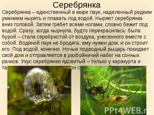 Серебрянка – единственный в мире паук, наделенный редким умением нырять и плават