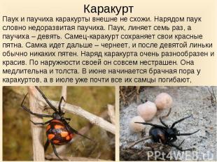 Паук и паучиха каракурты внешне не схожи. Нарядом паук словно недоразвитая паучи