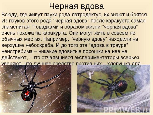 """Всюду, где живут пауки рода латродектус, их знают и боятся. Из пауков этого рода ''черная вдова"""" после каракурта самая знаменитая. Повадками и образом жизни ''черная вдова"""" очень похожа на каракурта. Они могут жить в совсем не обычных местах. Наприм…"""