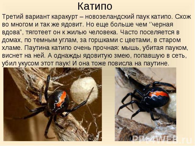 """Третий вариант каракурт – новозеландский паук катипо. Схож во многом и так же ядовит. Но еще больше чем ''черная вдова"""", тяготеет он к жилью человека. Часто поселяется в домах, по темным углам, за горшками с цветами, в старом хламе. Паутина катипо о…"""