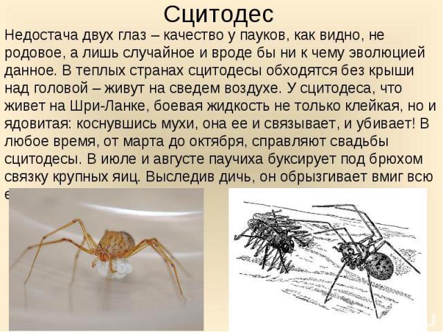 Недостача двух глаз – качество у пауков, как видно, не родовое, а лишь случайное и вроде бы ни к чему эволюцией данное. В теплых странах сцитодесы обходятся без крыши над головой – живут на сведем воздухе. У сцитодеса, что живет на Шри-Ланке, боевая…
