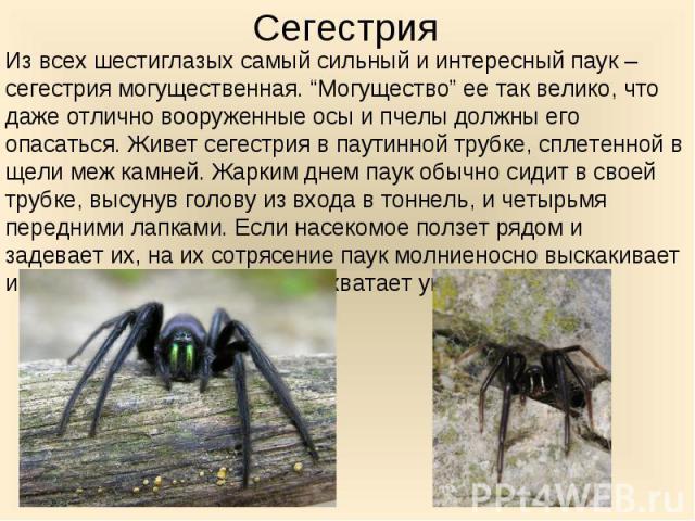 """Из всех шестиглазых самый сильный и интересный паук – сегестрия могущественная. """"Могущество"""" ее так велико, что даже отлично вооруженные осы и пчелы должны его опасаться. Живет сегестрия в паутинной трубке, сплетенной в щели меж камней. Жарким днем …"""