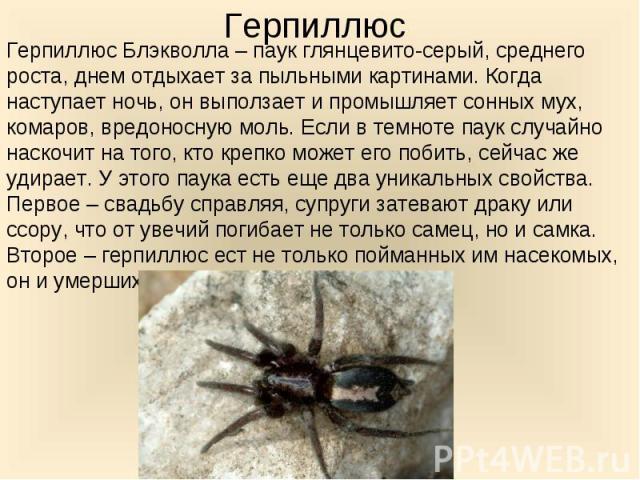 Герпиллюс Блэкволла – паук глянцевито-серый, среднего роста, днем отдыхает за пыльными картинами. Когда наступает ночь, он выползает и промышляет сонных мух, комаров, вредоносную моль. Если в темноте паук случайно наскочит на того, кто крепко может …