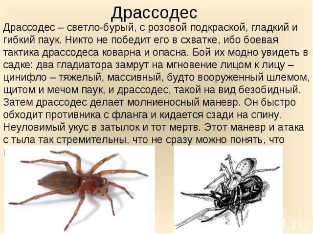 Драссодес – светло-бурый, с розовой подкраской, гладкий и гибкий паук. Никто не победит его в схватке, ибо боевая тактика драссодеса коварна и опасна. Бой их модно увидеть в садке: два гладиатора замрут на мгновение лицом к лицу – цинифло – тяжелый,…