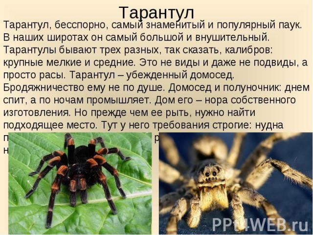 Тарантул, бесспорно, самый знаменитый и популярный паук. В наших широтах он самый большой и внушительный. Тарантулы бывают трех разных, так сказать, калибров: крупные мелкие и средние. Это не виды и даже не подвиды, а просто расы. Тарантул – убежден…