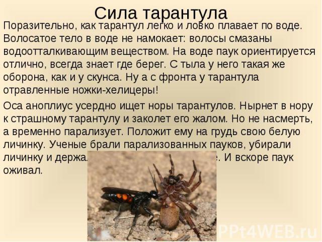 Поразительно, как тарантул легко и ловко плавает по воде. Волосатое тело в воде не намокает: волосы смазаны водоотталкивающим веществом. На воде паук ориентируется отлично, всегда знает где берег. С тыла у него такая же оборона, как и у скунса. Ну а…