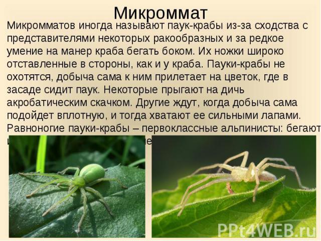 Микромматов иногда называют паук-крабы из-за сходства с представителями некоторых ракообразных и за редкое умение на манер краба бегать боком. Их ножки широко отставленные в стороны, как и у краба. Пауки-крабы не охотятся, добыча сама к ним прилетае…