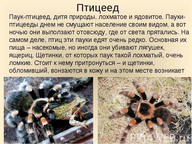 Паук-птицеед, дитя природы, лохматое и ядовитое. Пауки-птицееды днем не смущают население своим видом, а вот ночью они выползают отовсюду, где от света прятались. На самом деле, птиц эти пауки едят очень редко. Основная их пища – насекомые, но иногд…