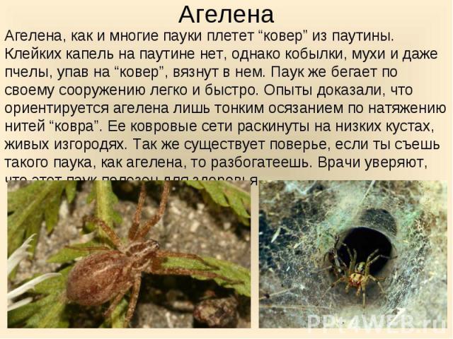 """Агелена, как и многие пауки плетет """"ковер"""" из паутины. Клейких капель на паутине нет, однако кобылки, мухи и даже пчелы, упав на """"ковер"""", вязнут в нем. Паук же бегает по своему сооружению легко и быстро. Опыты доказали, что ориентируется агелена лиш…"""
