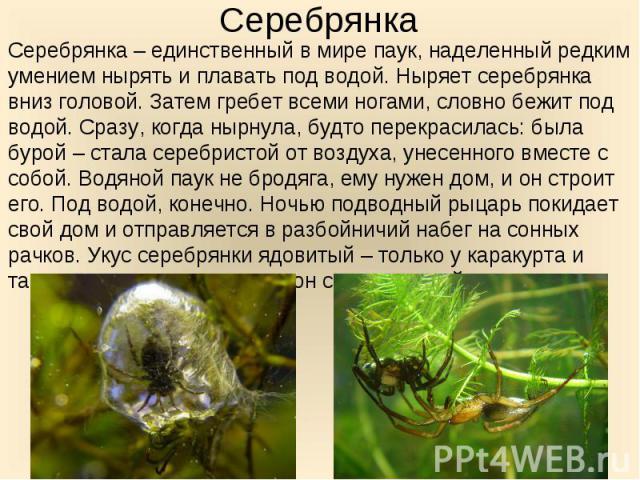 Серебрянка – единственный в мире паук, наделенный редким умением нырять и плавать под водой. Ныряет серебрянка вниз головой. Затем гребет всеми ногами, словно бежит под водой. Сразу, когда нырнула, будто перекрасилась: была бурой – стала серебристой…
