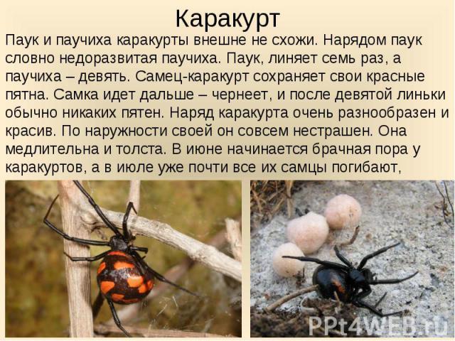 Паук и паучиха каракурты внешне не схожи. Нарядом паук словно недоразвитая паучиха. Паук, линяет семь раз, а паучиха – девять. Самец-каракурт сохраняет свои красные пятна. Самка идет дальше – чернеет, и после девятой линьки обычно никаких пятен. Нар…