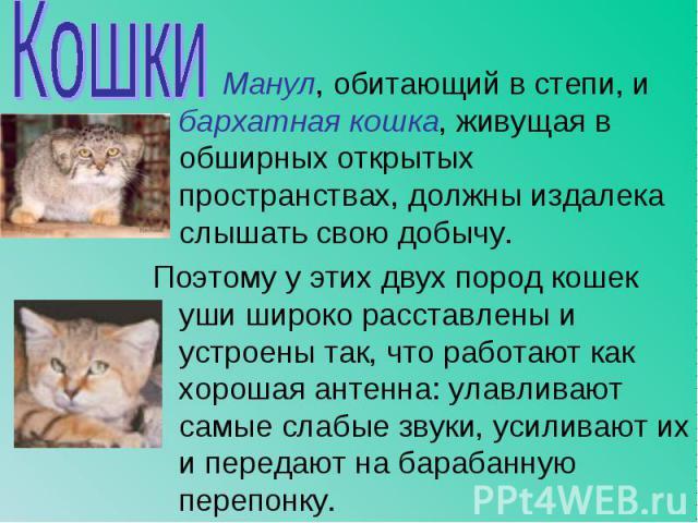 Манул, обитающий в степи, и бархатная кошка, живущая в обширных открытых пространствах, должны издалека слышать свою добычу. Манул, обитающий в степи, и бархатная кошка, живущая в обширных открытых пространствах, должны издалека слышать свою добычу.…
