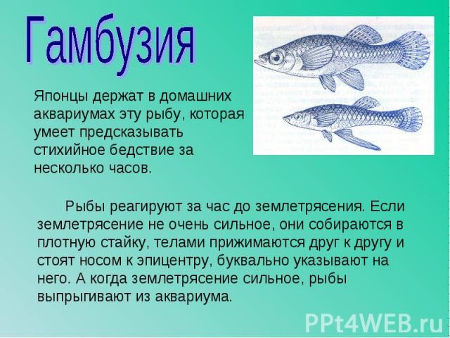Японцы держат в домашних аквариумах эту рыбу, которая умеет предсказывать стихийное бедствие за несколько часов. Японцы держат в домашних аквариумах эту рыбу, которая умеет предсказывать стихийное бедствие за несколько часов.