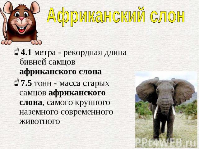 4.1метра - рекордная длина бивней самцов африканского слона 4.1метра - рекордная длина бивней самцов африканского слона 7.5тонн - масса старых самцов африканского слона, самого крупного наземного современного животного