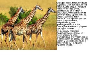 Жирафы очень миролюбивые существа. Они объединяются в небольшие стада. Каж