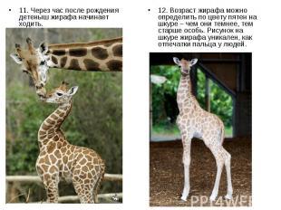 11. Через час после рождения детеныш жирафа начинает ходить. 11. Через час после