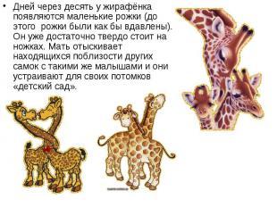 Дней через десять у жирафёнка появляются маленькие рожки (до этого рожки б