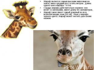 Жираф является самым высоким животным на земле, имея средний рост в пять метров.