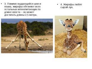 3. Помимо выдающейся шеи и языка, жирафы обгоняют всех остальных млекопитающих п
