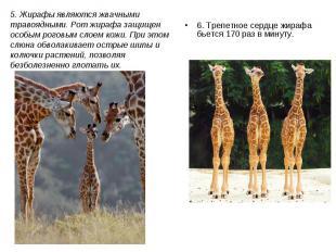 6. Трепетное сердце жирафа бьется 170 раз в минуту. 6. Трепетное сердце жирафа б