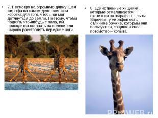 7. Несмотря на огромную длину, шея жирафа на самом деле слишком коротка для того