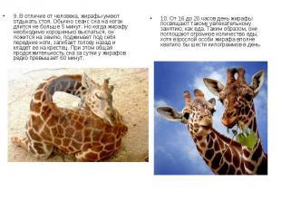 9. В отличие от человека, жирафы умеют отдыхать стоя. Обычно сеанс сна на ногах