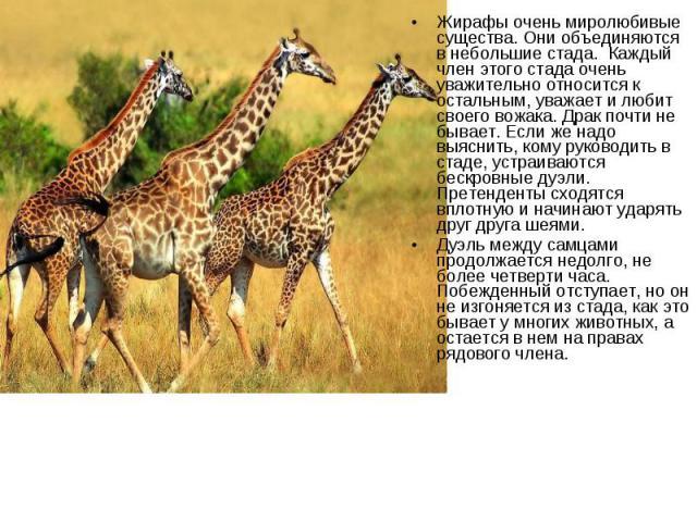 Жирафы очень миролюбивые существа. Они объединяются в небольшие стада. Каждый член этого стада очень уважительно относится к остальным, уважает и любит своего вожака. Драк почти не бывает. Если же надо выяснить, кому руководить в стаде, устраи…