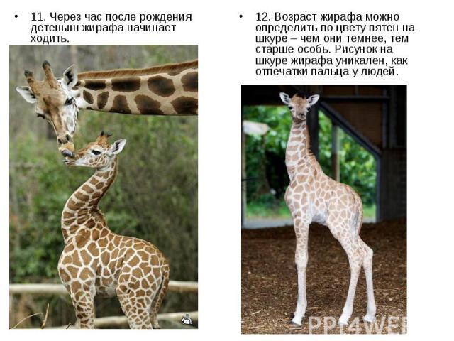 11. Через час после рождения детеныш жирафа начинает ходить. 11. Через час после рождения детеныш жирафа начинает ходить.