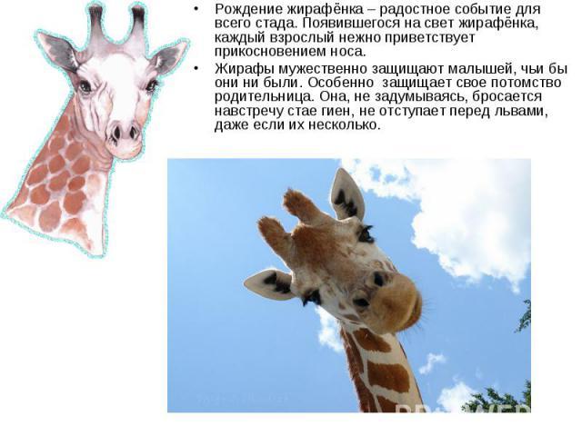 Рождение жирафёнка – радостное событие для всего стада. Появившегося на свет жирафёнка, каждый взрослый нежно приветствует прикосновением носа. Рождение жирафёнка – радостное событие для всего стада. Появившегося на свет жирафёнка, каждый взрослый н…