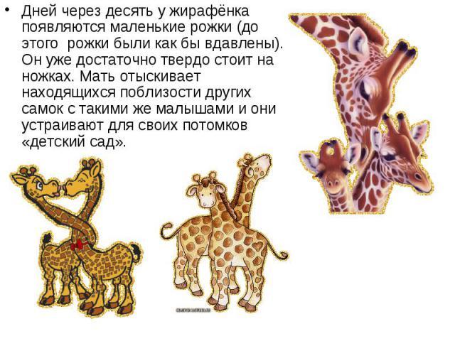 Дней через десять у жирафёнка появляются маленькие рожки (до этого рожки были как бы вдавлены). Он уже достаточно твердо стоит на ножках. Мать отыскивает находящихся поблизости других самок с такими же малышами и они устраивают для своих потом…