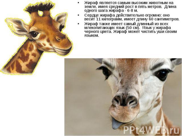 Жираф является самым высоким животным на земле, имея средний рост в пять метров. Длина одного шага жирафа - 6-8 м. Жираф является самым высоким животным на земле, имея средний рост в пять метров. Длина одного шага жирафа - 6-…