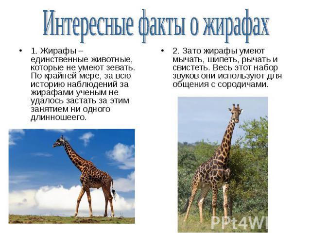 1. Жирафы – единственные животные, которые не умеют зевать. По крайней мере, за всю историю наблюдений за жирафами ученым не удалось застать за этим занятием ни одного длинношеего. 1. Жирафы – единственные животные, которые не умеют зевать. По крайн…