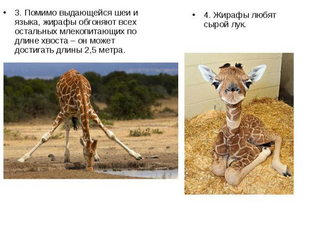 3. Помимо выдающейся шеи и языка, жирафы обгоняют всех остальных млекопитающих по длине хвоста – он может достигать длины 2,5 метра. 3. Помимо выдающейся шеи и языка, жирафы обгоняют всех остальных млекопитающих по длине хвоста – он может достигать …