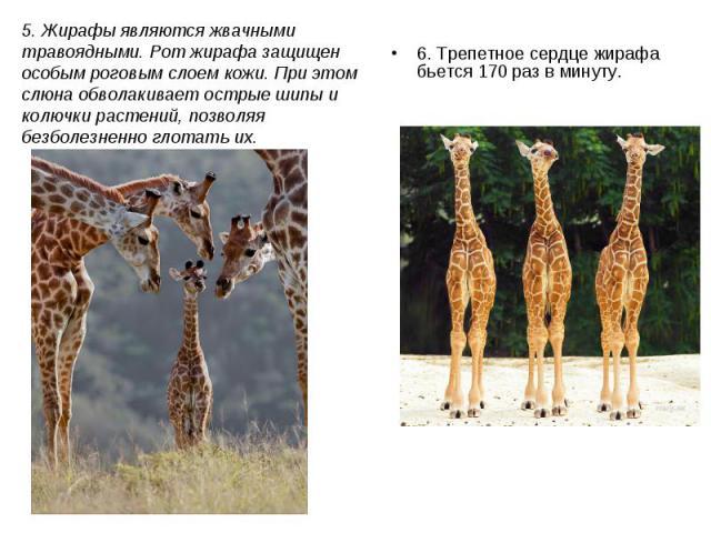 6. Трепетное сердце жирафа бьется 170 раз в минуту. 6. Трепетное сердце жирафа бьется 170 раз в минуту.