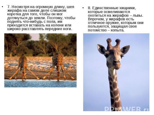7. Несмотря на огромную длину, шея жирафа на самом деле слишком коротка для того, чтобы он мог дотянуться до земли. Поэтому, чтобы поднять что-нибудь с пола, им приходится вставать на колени или широко расставлять передние ноги. 7. Несмотря на огром…