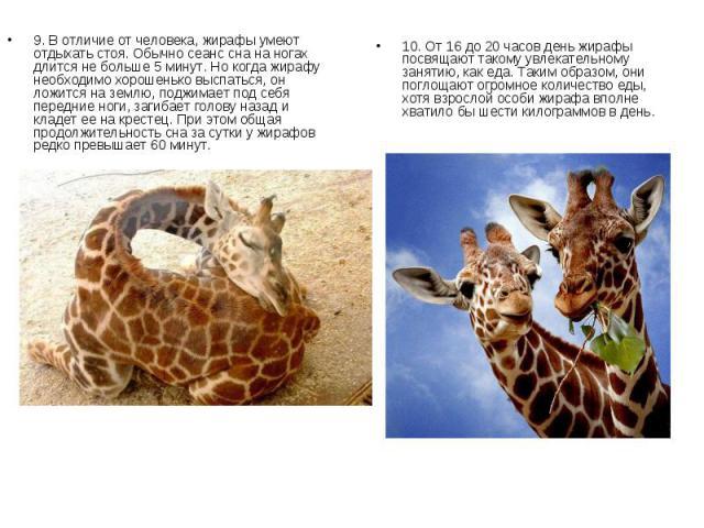 9. В отличие от человека, жирафы умеют отдыхать стоя. Обычно сеанс сна на ногах длится не больше 5 минут. Но когда жирафу необходимо хорошенько выспаться, он ложится на землю, поджимает под себя передние ноги, загибает голову назад и кладет ее на кр…