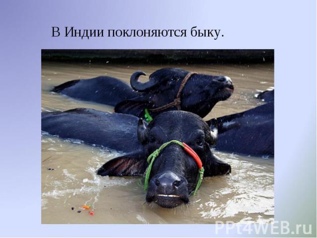 В Индии поклоняются быку. В Индии поклоняются быку.