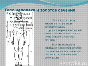 Тело человека и золотое сечение Все кости человека выдержаны в пропорции золотог