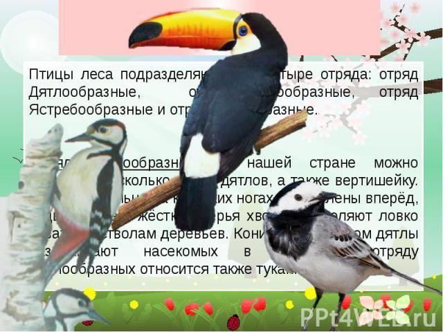 Птицы леса Птицы леса подразделяются на четыре отряда: отряд Дятлообразные, отряд Курообразные, отряд Ястребообразные и отряд Совообразные. Отряд Дятлообразные. В нашей стране можно встретить несколько видов дятлов, а также вертишейку. У них два пал…