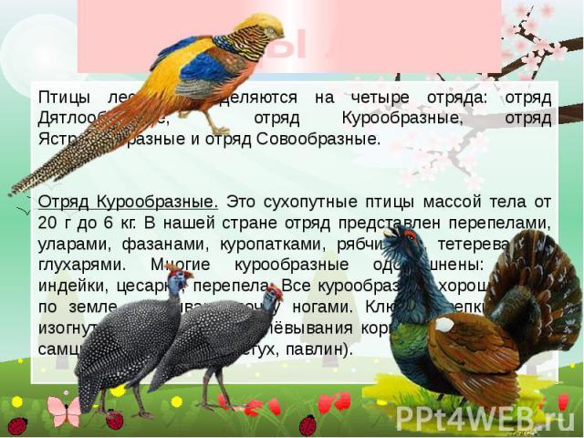 Птицы леса Птицы леса подразделяются на четыре отряда: отряд Дятлообразные, отряд Курообразные, отряд Ястребообразные и отряд Совообразные. Отряд Курообразные. Это сухопутные птицы массой тела от 20 г до 6 кг. В нашей стране отряд представлен перепе…