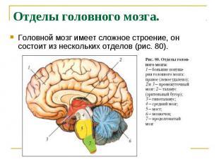 Отделы головного мозга. Головной мозг имеет сложное строение, он состоит из неск