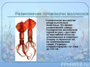 Головоногие моллюски раздельнополые животные. Во время размножения самцы головон