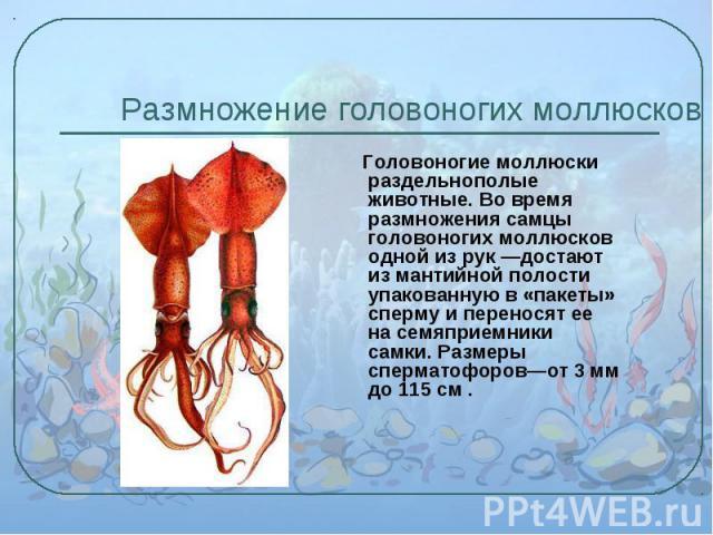 Головоногие моллюски раздельнополые животные. Во время размножения самцы головоногих моллюсков одной из рук —достают из мантийной полости упакованную в «пакеты» сперму и переносят ее на семяприемники самки. Размеры сперматофоров—от 3 мм до 115 см . …